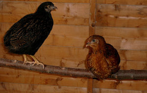 Some young chickens in a wooden chicken coop