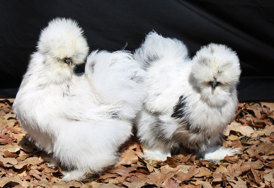 A pair of paint silkie hens.