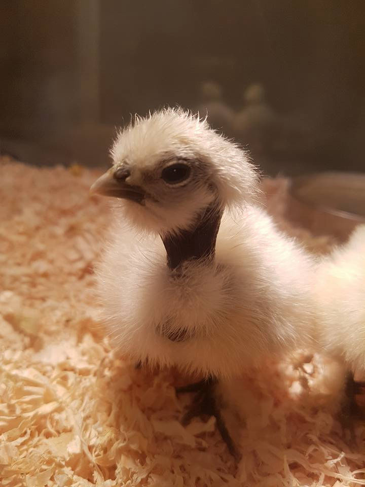 A showgirl baby chick
