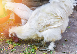A pair of Silkie chickens eating