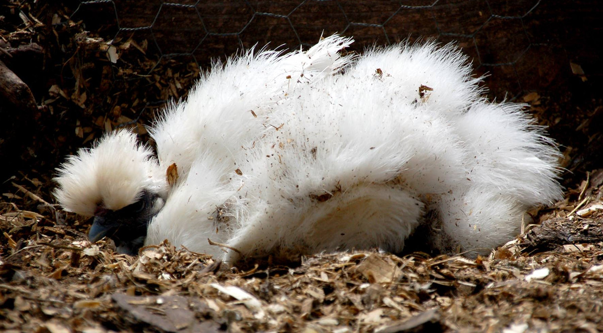 A silkie chicken having a dust bath
