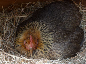 A broody hen on a nest
