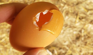 An egg that has been eaten by a chicken