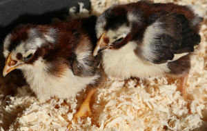 A couple of day old chicks